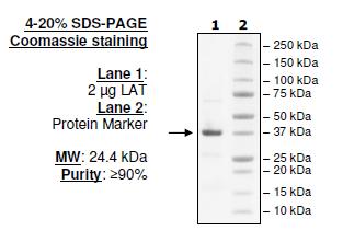 Mouse PD-L1 (CD274), Fc fusion