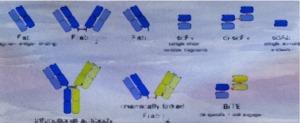 Antibodies 2